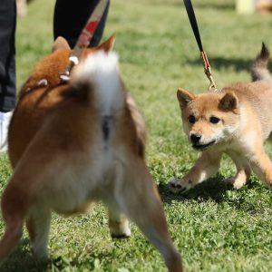 日本犬祭2018 16