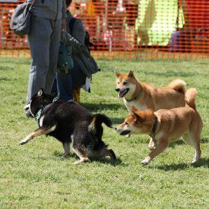 日本犬祭2018 18
