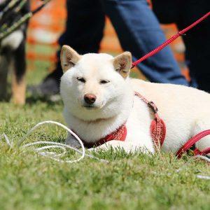 日本犬祭2018 21