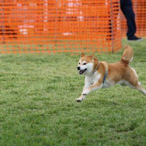 日本犬祭2018 22