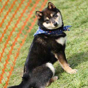 日本犬祭2018 27