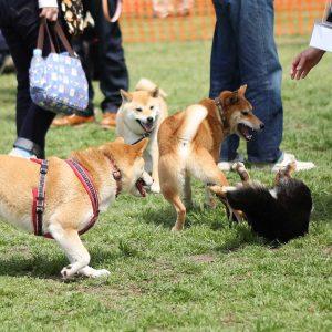 日本犬祭2018 30