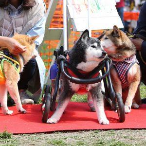 日本犬祭2018 33